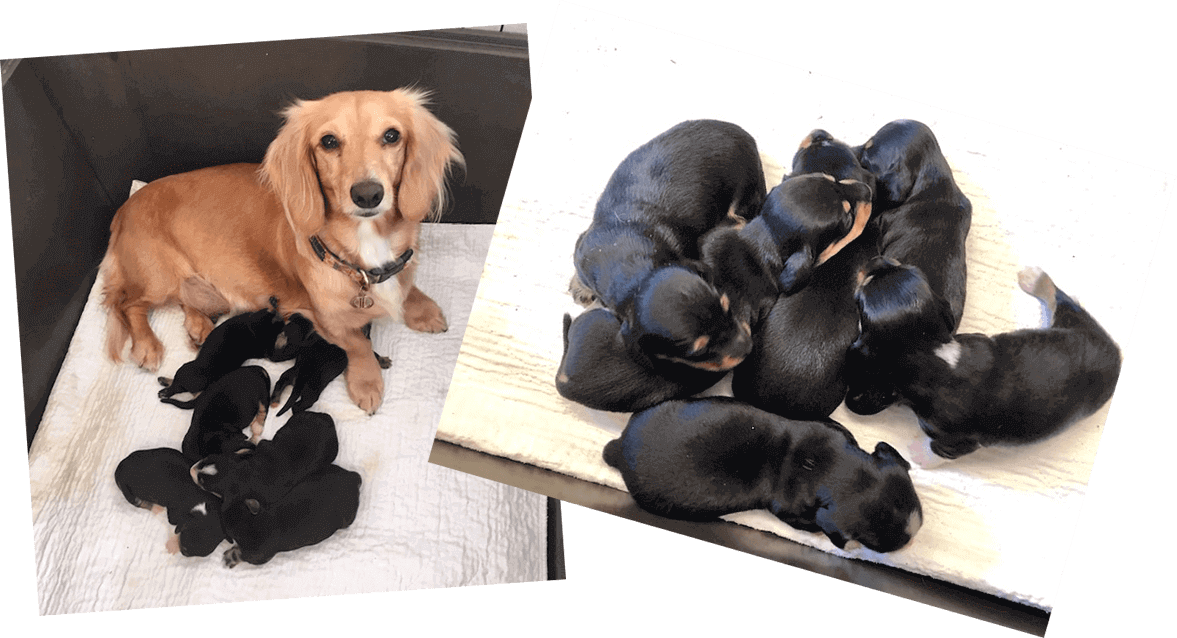 Mini Me Miniatures - AKC miniature dachshund puppies in Texas for sale