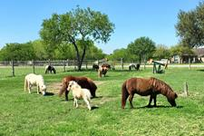 Mini Me Miniature - Horses and Dachshunds breeder in Corpus Christi Texas
